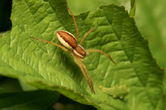 Spider. The spider, is photographed by close up on green sheet Stock Images