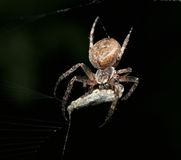 Spider. With a catch on the web Royalty Free Stock Photography