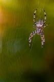 Spider Stock Photos