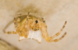 Spider. Stock Image