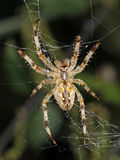 Spider. Lying in wait for the prey Stock Image