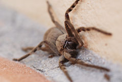 Spider. A large spider on the patio - Cape Town Royalty Free Stock Image