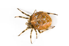 Spider. Macro picture of a huge spider Royalty Free Stock Photo