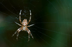 Spider. On web. Late afternoon on natural grassland Royalty Free Stock Photos