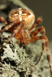 Spider. Portrait of a scary spider with a cross on his back Stock Image