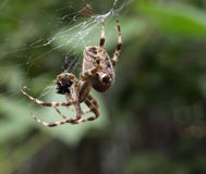 Spider Royalty Free Stock Image