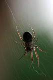 Spider. A macro closeup of a spider in its web royalty free stock photo