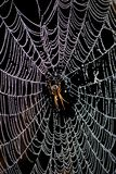 Spider. Portrait of spider with web covered in morning dew Royalty Free Stock Photos