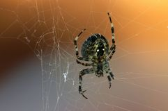 Spider. Big garden spider on web Royalty Free Stock Photo