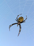 Spider. A spider on a web. On a web morning dew stock photography