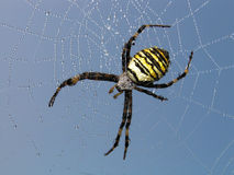 Spider. A spider on a web. On a web morning dew royalty free stock photography