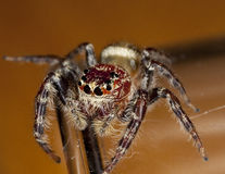 Spider. Closeup of a hairy spider.  Order:  Araneae Royalty Free Stock Image