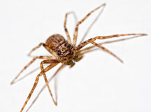 Spider. Head on shot of spider crawling on white background in house Stock Image