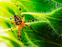 Spider. In the green grass Royalty Free Stock Photos