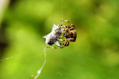 Spider. At work with victim royalty free stock photography