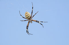 Spider. The huge wild spider waits for insects stock images