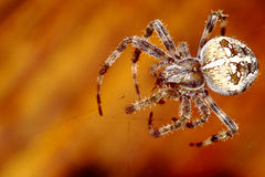 Spider. Huge spider with big cross Stock Photos