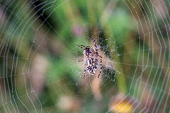 Spider. In  web of dew in the morning day stock photos