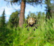 The spider Royalty Free Stock Image