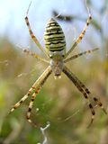 Spider. The spider on a cobweb. summer 2009 Royalty Free Stock Photos