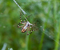 Spider. Picture of a nice spider Royalty Free Stock Photo