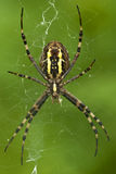 Spider. In the own net Royalty Free Stock Images