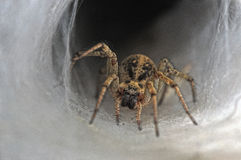Spider. A tunel web spider on the front of his tunel Stock Photography