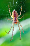 Spider. Detailed view of a spider on a green background Royalty Free Stock Photography
