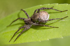 Spider. Looking on a green leaf Royalty Free Stock Photo