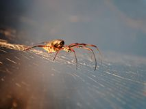 Spider. Thin-legged spider on his web royalty free stock photography