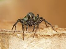 Spider. Female wolf spider with eggs stock images