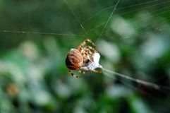 Spider. A spider building a web Royalty Free Stock Photo