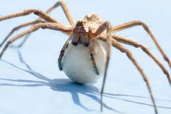 Spider. A spider with an egg sack. Back lite. Close up view Stock Image