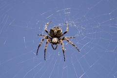 Spider. Large spider on its web Royalty Free Stock Image