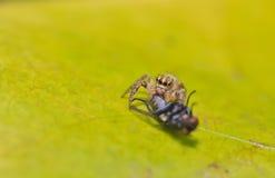 Spider. S eat flies macro in bangkok thailand Royalty Free Stock Photo
