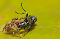 Spider. Is eating flies on the leaf, Thailand Stock Photo