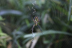 Spider. A spider is waiting in a web Stock Image