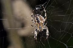 Spider. Hunting spider in its web Royalty Free Stock Image