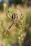 Spider. In her web. Argiope bruennichi Royalty Free Stock Images