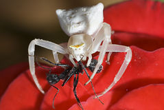 Free Spider Royalty Free Stock Image - 27804896