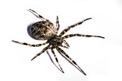 Spider. This is a macro shot of a spider that lived outside my office :) His name is Gill Royalty Free Stock Photos