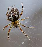 Spider. Popular European spider on the web Royalty Free Stock Photo
