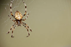 Spider. Insect sitting on his web Royalty Free Stock Photography