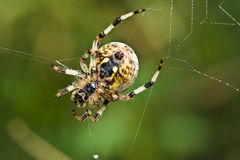 Spider. On her silk web royalty free stock photo