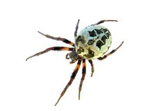 Spider. On a white background royalty free stock image