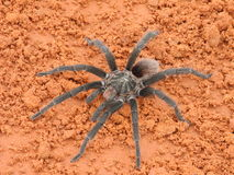 Spider. The Brazilian Tarantula - Salmon Pink Bird-eating (Lasiodora parahybana) is a large spider originating from northeastern Brazil. This spider typically royalty free stock images