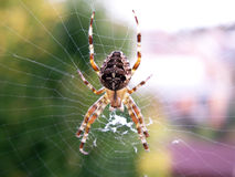 Spider. Sits  on its web Royalty Free Stock Image