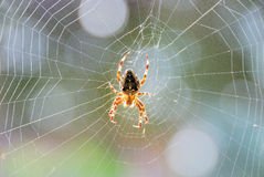 The spider Stock Image