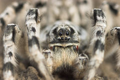 Spider. Lycosa signoriensis front view Royalty Free Stock Image