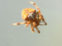 Spider. Orb Spider on Web Stock Photo